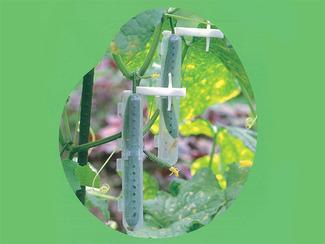 もぎ太郎 キュウリが曲がりを抑制しながら成長し、一定の大きさになると茎を自動的にカットする、画期的な装置です。